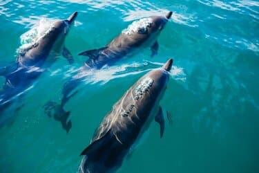 kaikoura dolfijnen spotten